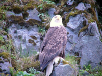 One of many Bald Eagles seen in Alaska!  [Russ Marvin]